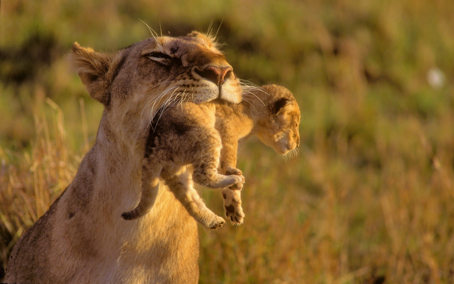 lion-with-baby