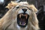 lionliontari